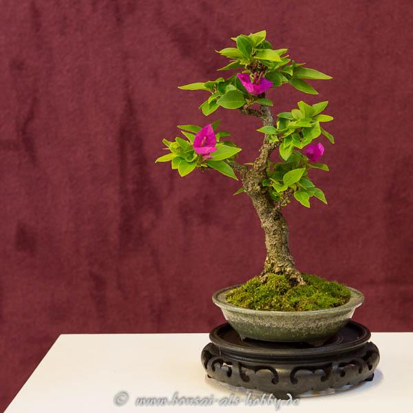 Bougainvillea mit Blüten als Shohin-Bonsai