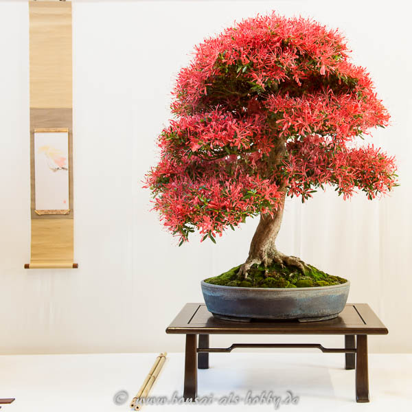 Rhododendron indicum Bonsai mit roten Blüten