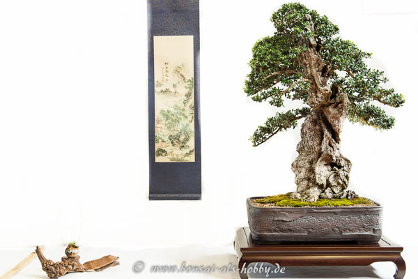 Wilde Olive als Bonsai