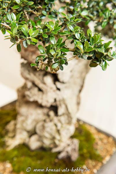 Nahaufname der wilden Olive