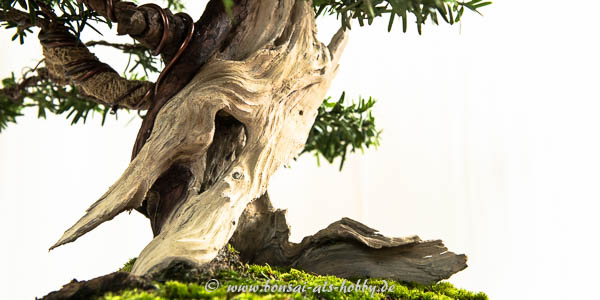 Totholz Taxus baccata