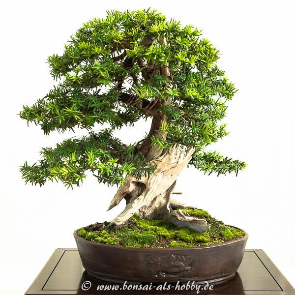 Taxus baccata Bonsai Baum
