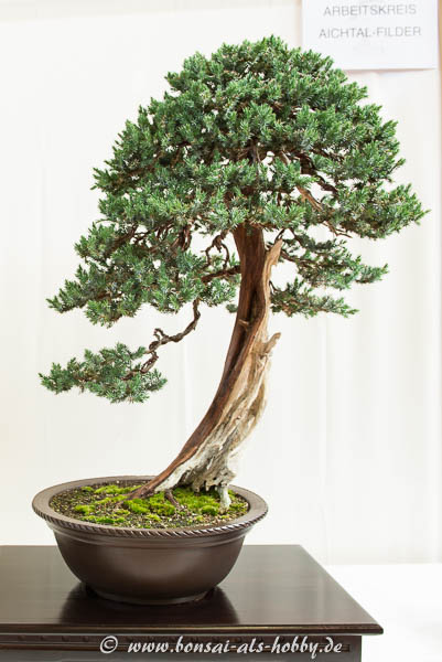 Juniperus squamata Bonsai-Baum