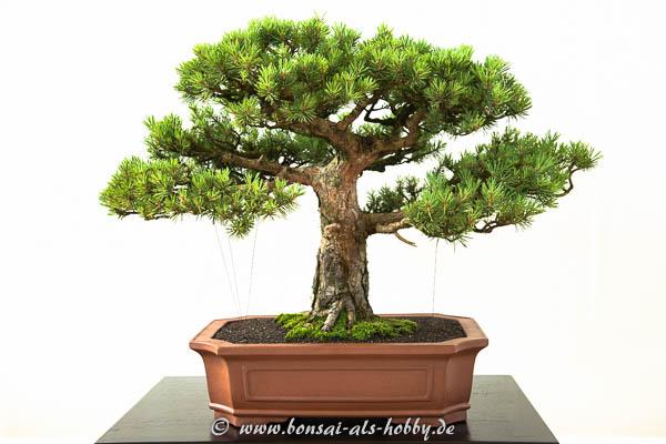 Pinus sylvestris Watereri als Bonsai-Baum
