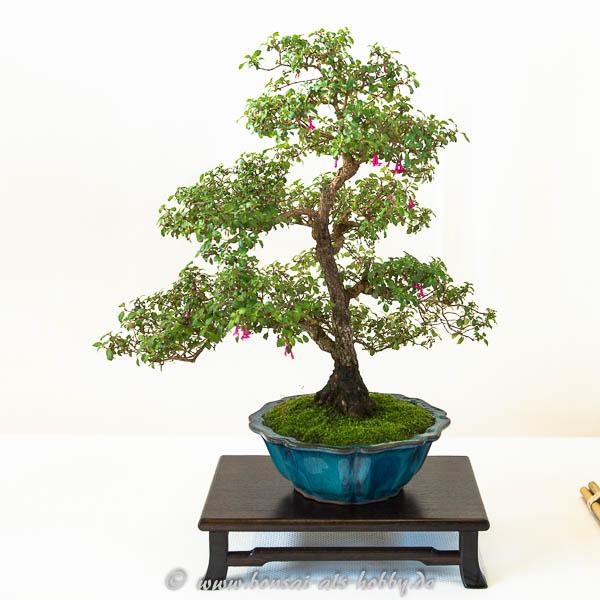 Fuchsie als Bonsai-Baum