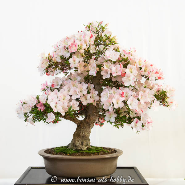 Rhododendron indicum Hekisui