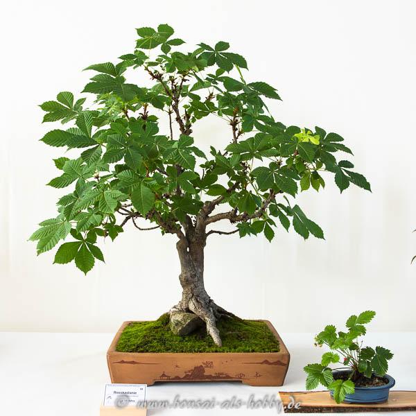 Rosskastanie als Bonsai-Baum