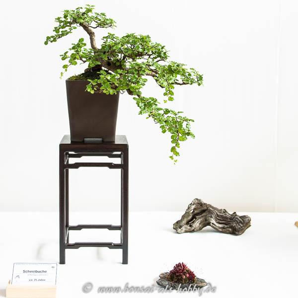 Scheinbuche (Nothofagus antarctica) als Bonsai-Baum