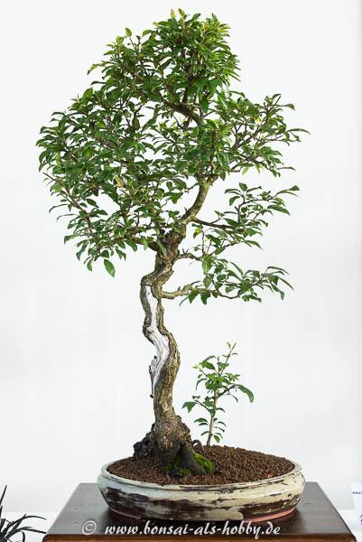Kirschpflaume oder Blutpflaume als Bonsai