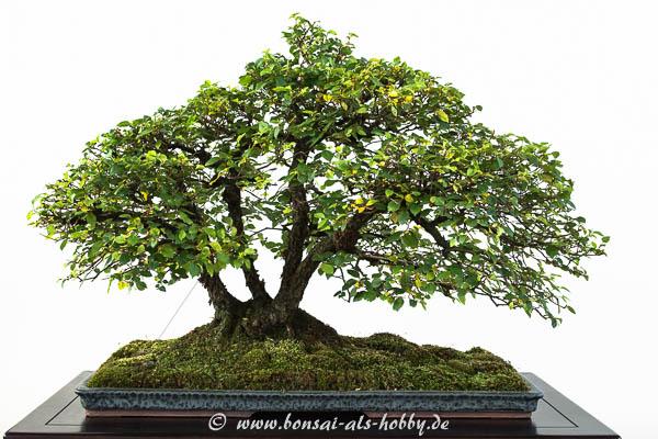 Mehrstämmige Feld-Ulme als Bonsai-Baum