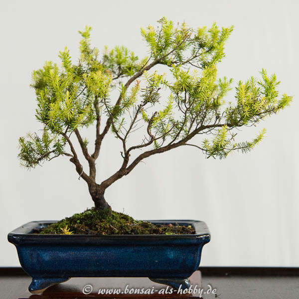 Baumheide (Erica arberea) als kleiner Bonsai