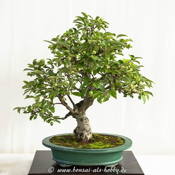 Apfelbaum mit Früchten als Bonsai