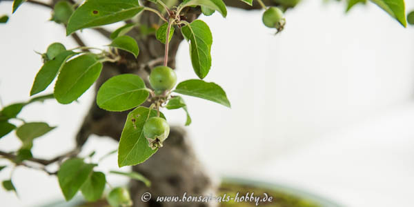 Apfel am Bonsai-Apfelbaum