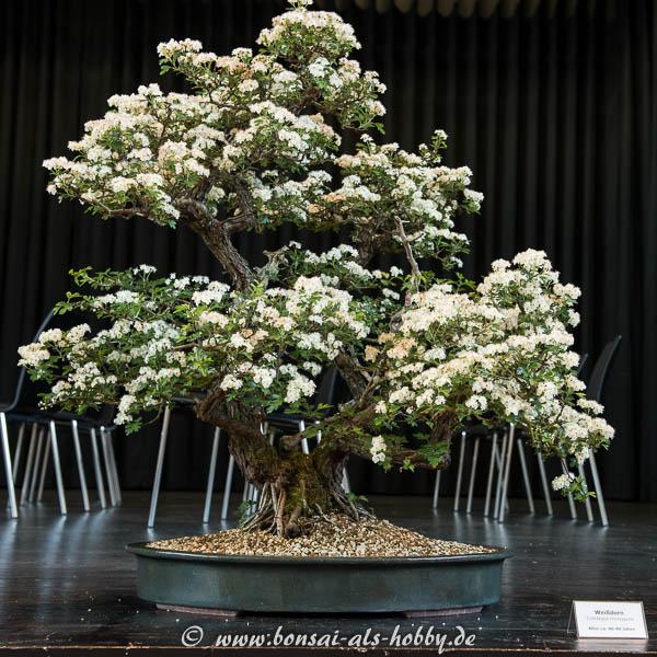 Bonsai mit Blüten in weiß