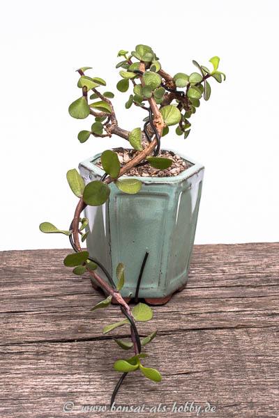 Jadebaum Erstgestaltung zur Kaskade