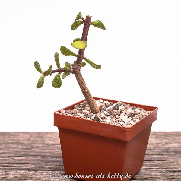 Steckling vom Jadebaum