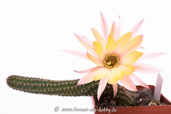 Chamaecrereus Hybride SMI 2011-9-3