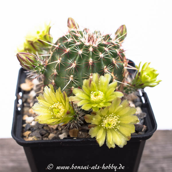 Echinocereus viridiflorus in voller Blüte