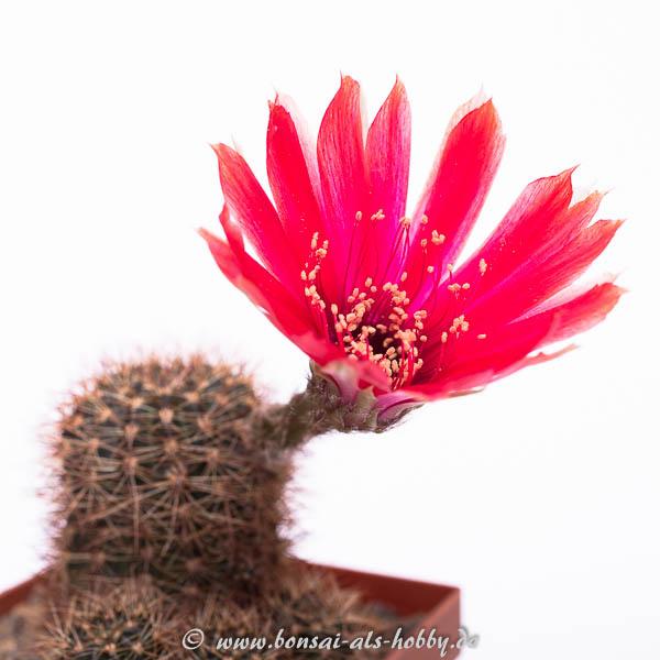 Lobivia spec. mit roter Blüte