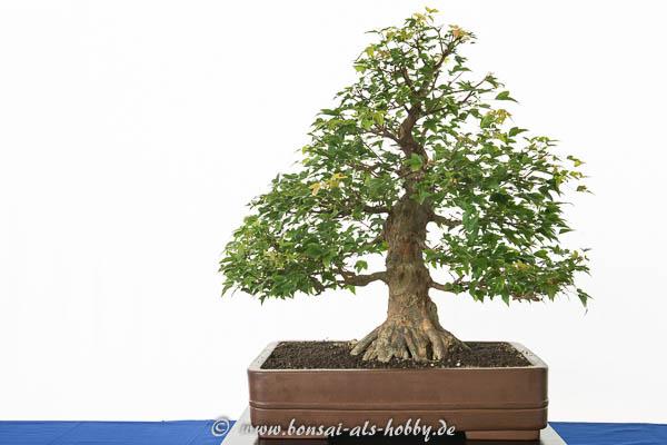 Acer buergerianum - Bonsai