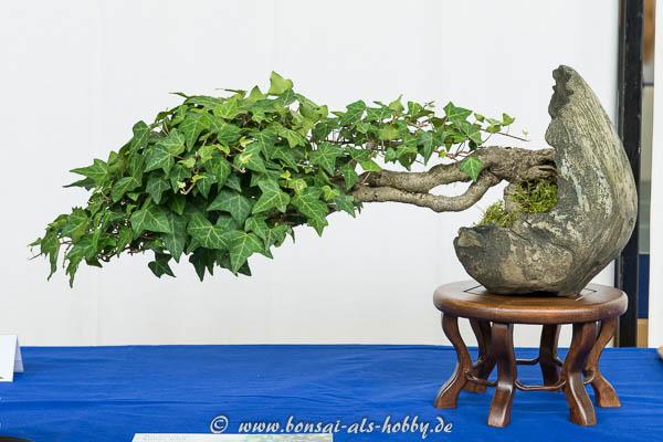 Efeu (Hedera helix) Bonsai