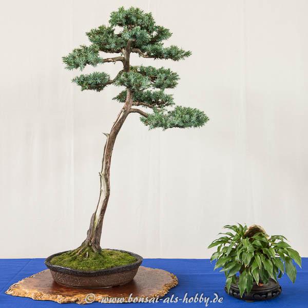 Juniperus squamata als Literat