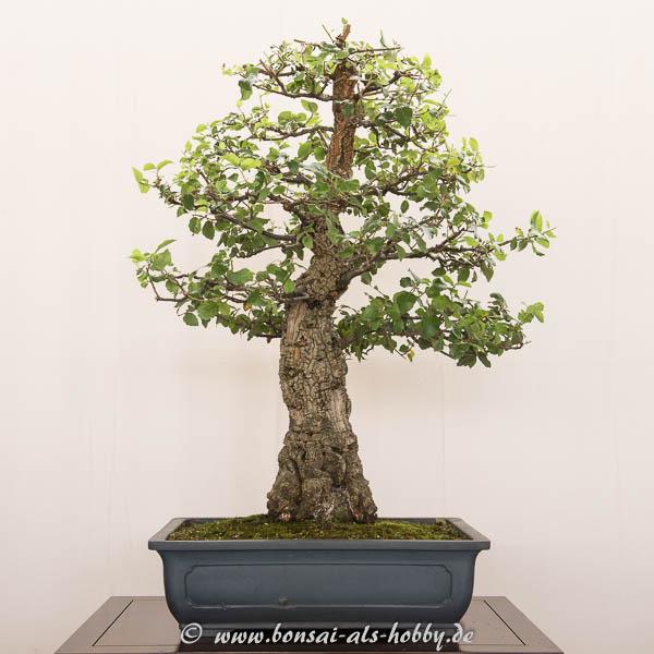 Quercus suber als Bonsai-Baum