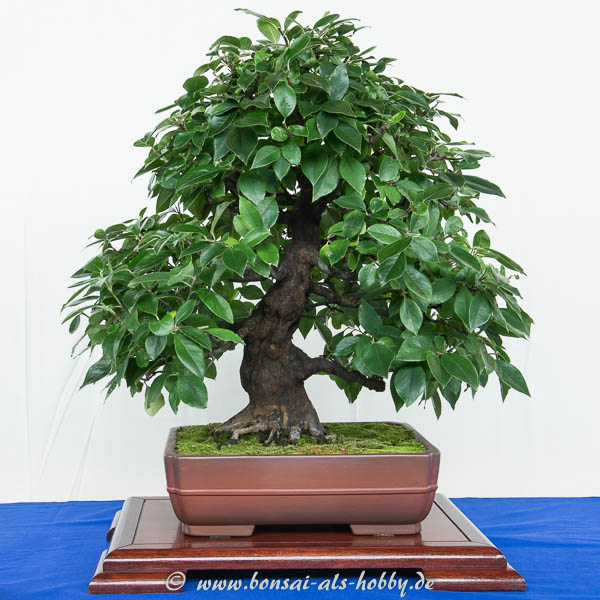 Quitte als Bonsai-Baum