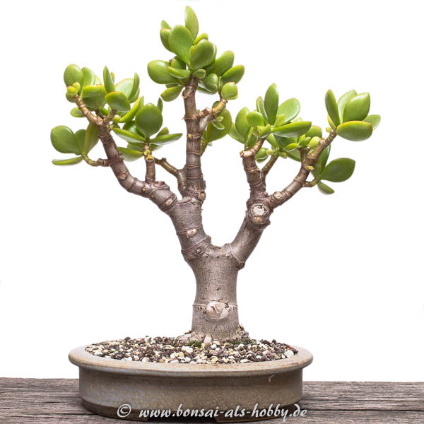 Crassula ovata im September 2016