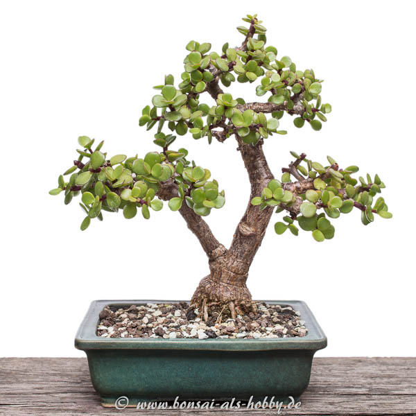 Portulacaria afra im September 2016