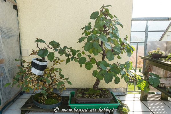 meine bonsai b ume im herbst 2016 korkrindenulme. Black Bedroom Furniture Sets. Home Design Ideas