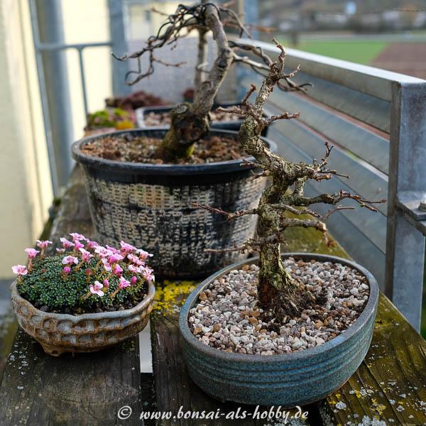 Bonsai und Saxifraga auf dem Balkon