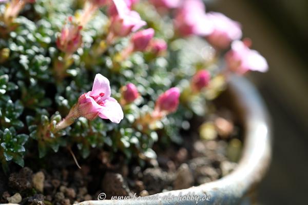 "Blüte vom Saxifraga ""Sissi"""