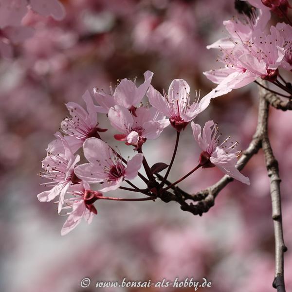 Blüte Blutpflaume (Prunus cerasifera)