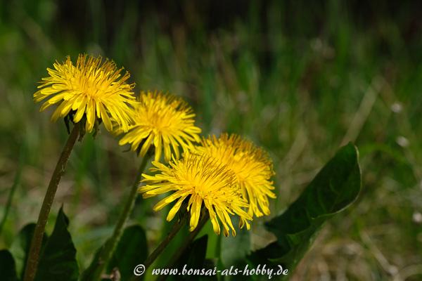 Löwenzahn mit gelbe Blüten