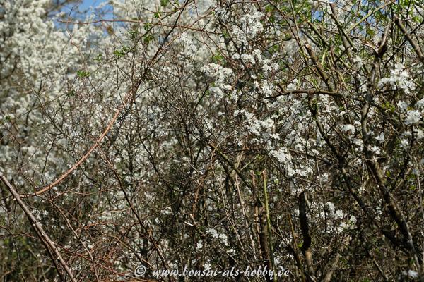 Schlehen (Prunus spinosa) mit weißen Blüten