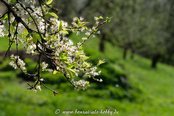 Weiße Blüten im Frühling