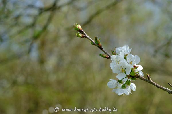Weiße Blüten an einem Apfelbaum