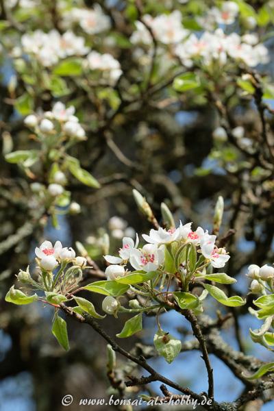 Obstbaum-Blüten