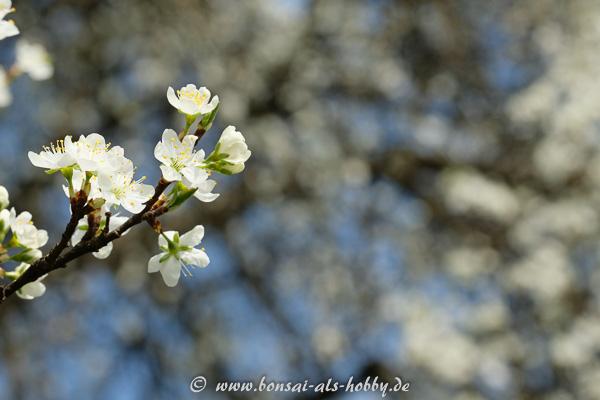 Weiße Blüten am Obstbaum