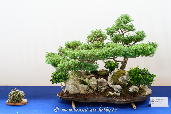 Chamaecyparis squarrosa als Bonsai