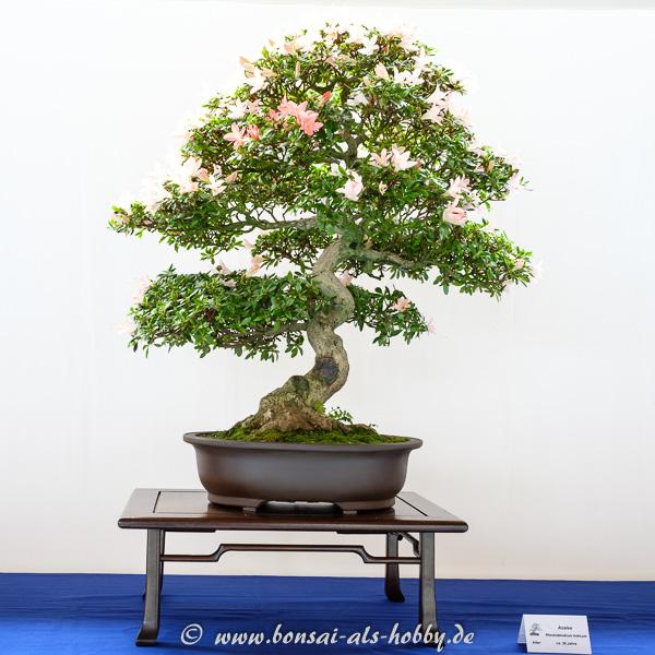 Rhododendron indicum Bonsai mit Blüten