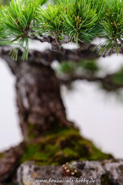Nadeln an einer Pinus parviflora