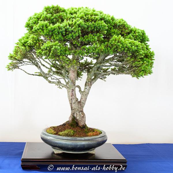 Noch eine Fichte als Bonsai-Baum