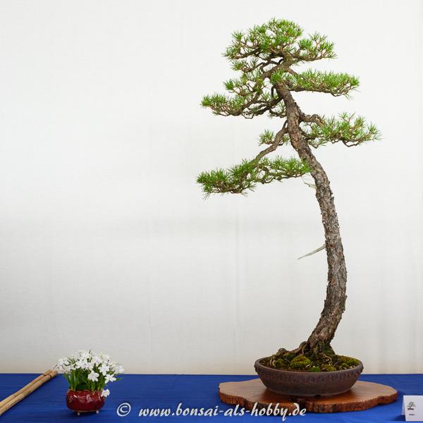 Wald-Kiefer - Pnus sylvestris