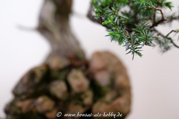 Nadeln am Igel-Wacholder - Juniperus rigida