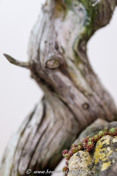 Hauswurz am Igel-Wacholder - Juniperus rigida