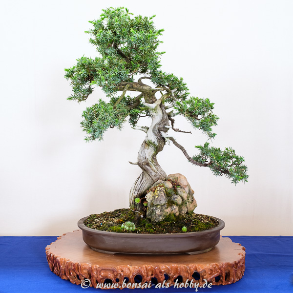 Igel-Wacholder - Juniperus rigida Bonsai