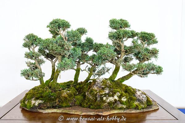 Chinesischer Wacholder - Juniperus chinensis als Waldgestaltung