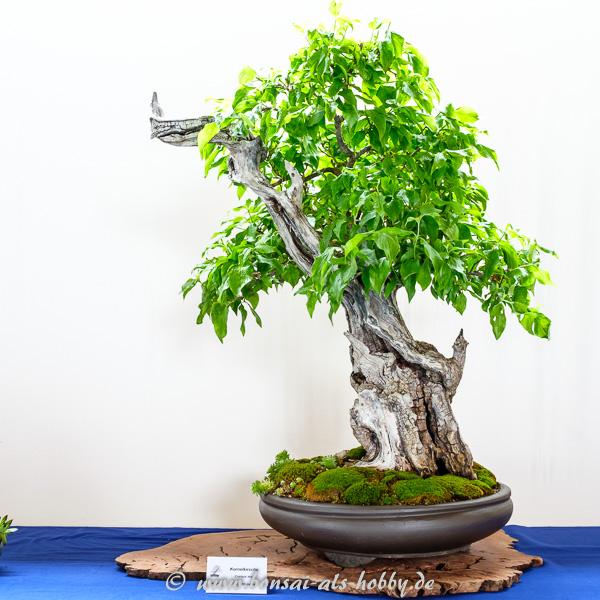 Kornelkirsche - Cornus mas mit Totholz als Bonsai
